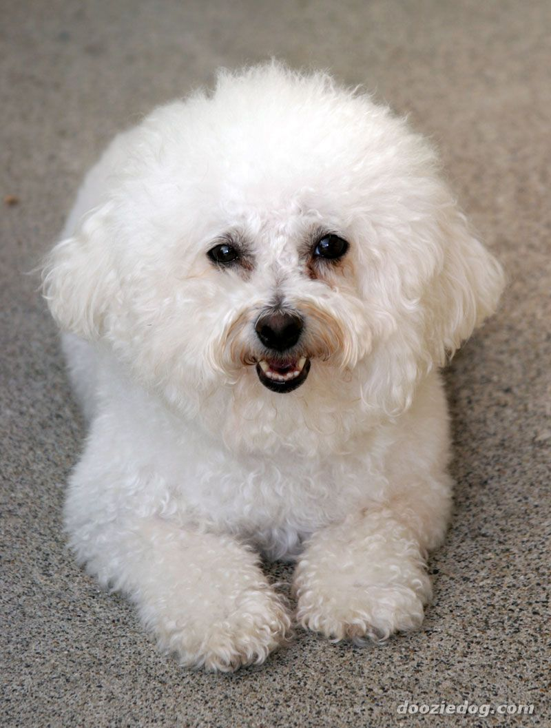 Displaying 16> Images For - Bichon Frise Maltese Mix...